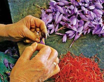 Sáfrány (Crocus sativus)