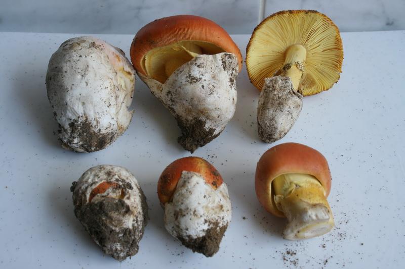 Császárgalóca, más néven császárgomba, tojásgomba (Amanita caesarea)