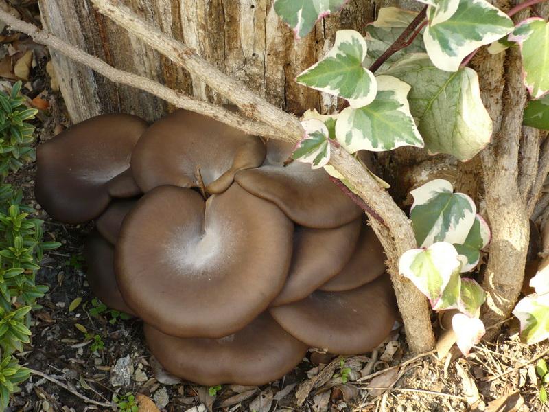 Késői laskagomba (Pleurotus ostreatus)
