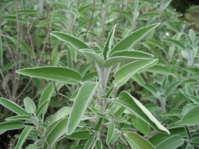 Zsálya (Salvia officinalis)